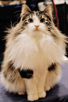 All of the attached images are not Norwegian  Forest Cats but the beauty above definitely is. Love these cats! They're often mistaken for Maine Coons but they're fluffier. And they have huge ruffs and the most adorable knickerbockers.