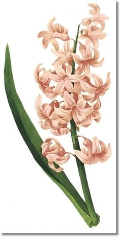 Hyacinth drawing. Welcome to my IndoorGardening page for more photos and information about bulbs http://www.facebook.com/flowerindoorgardening