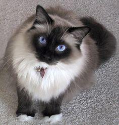 A super dark Sealpoint Mitted adult Ragdoll cat.