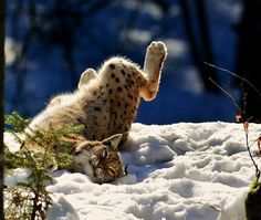 Lynx in snow Big Cats, Cool Cats, Animals And Pets, Cute Animals, Exotic Cats, Cat Boarding, Domestic Cat, Fauna, Beautiful Cats