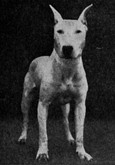 """An early bull terrier, before the show ring breeders developed the characterisric """"down face"""" which the dogs are known for now. The dogs were light, athletic animals bred for the rat pit. Most bull terriers today are fat, shapeless animals. Pity, they are sweet dogs."""