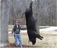 Big Georgia Boar Hog    WOW