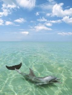 Looking for Dolphin Poster ?  Dolphin Posters for Dolphins Lovers. If you are one who fall in love the charming of Dolphin and looking for your...