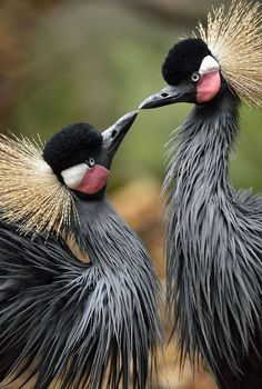 African crowned cranes form monogamous pair bonds. Their mating rituals are so engaging that some African tribes have made them a part of their culture. Photo: Debbie Beals