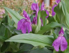 Roscoea purpurea, Zingiberaceae (Ginger) Royal purple group. (Roscoe founder of liverpool bot gdns). Small plants bearing large exotic flowers reddish stems. Native to Nepal +Himalayas. Deciduous quite hardy (can mulched to protect in winter) special for rock garden/woodland edge/front of humus rich mixed borders/Tropical/exotic effect. Vine weevil candamage roots/shoots, occasionally affected by a virus. part shade best dapple shade ok/full sun asalongas moist/not full shade acid beds not…