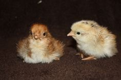 Chick Days at the farm :) On the left is a Welsummer Roo, the other a French Wheaten Maran