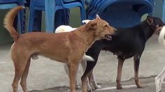 dog mating