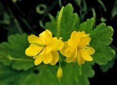 Greater CELANDINE, lovely, soft round mound plant full of bright leaves fill with yellow flowers.  any soil. sun or shade.  great in front of shade garden.  easy grow, easy to maintain, self spreads but easy to control. comes up in late spring - blooms spring to mid summer.