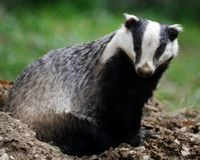 Plans to kill badgers, in a misguided attempt to eradicate bovine tuberculosis (bTB) in cattle, could begin in England very soon.
