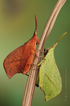 Leaf-mimicking grasshoppers are produced in two color variants (or skins): Noob Green and Scatological Brown. Choice - one of Nature's many gifts.