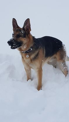 At least Cain is enjoying the snow storm! German Shepherd Pictures, German Shepherd Puppies, German Shepherds, Corgi, Snow, Animals, German Shepherd Pups, Corgis, Animales
