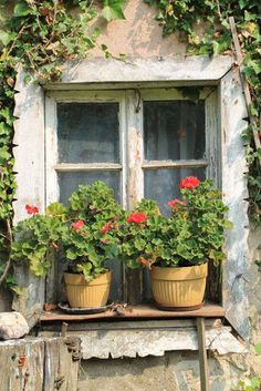 with two pots of geraniums