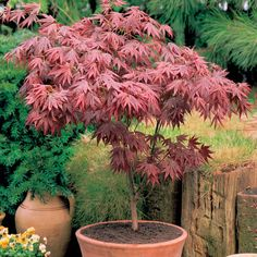 Japanese maples (Acer palmatum) are small, deciduous trees grown for their graceful habit, autumn colour and beautiful foliage which may be coloured or deeply dissected. Description from ebay.co.uk. I searched for this on bing.com/images