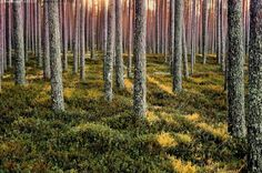 Sunrays in a pine forest, Finland