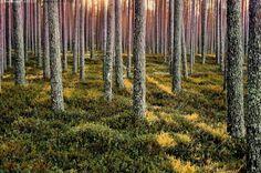 Auringonsäteet mäntymetsässä - mänty metsä mäntymetsä männikkö puu puut runko rungot männynrunko männynrungot suomalainen hyvinhoidettu talousmetsä aurinkoinen metsämaisema