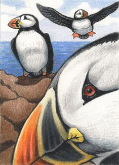 Puffins Drawing by Amy S Turner - Puffins Fine Art Prints and Posters for Sale