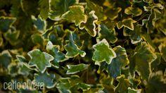 Particolare di Edera variegata. carlocivera.org #edera #piantarampicante #plant