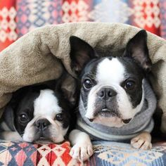 Baby Boston Terriers, Boston Terrier Love, Terrier Puppies, Baby Animals, Cute Animals, Dog Rules, Cute Dogs And Puppies, Cute Creatures, French Bulldogs