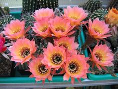 Pink and yellow cactus flower