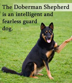 Firstly, this dog is an offspring of two of the most renowned guarding breeds in the world, the Doberman Pinscher and the German Shepherd. Description from buzzle.com. I searched for this on bing.com/images