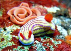 Hypselodoris maridadilus Indonesien - Bali Tulamben - Coral Garden - UW-Foto Datenbank von Taucher.Net