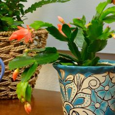 Christmas Cactus Cuttings: How to Grow Roots in Water