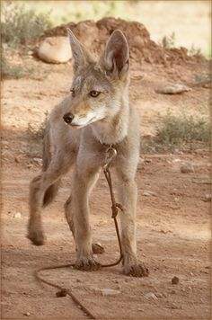 Charlie the coyote (Daily Coyote)