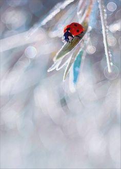 Striking colour gorgeous .... Ice blue and red ladybug macro