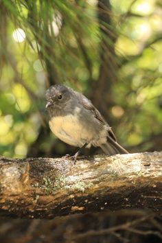 The inquisitive and delightful Stewart Island Robin - we love these little guys!
