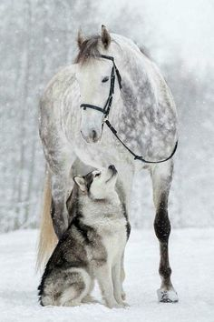Just Beautiful Dapple Grey Horse And Husky Pretty Horses, Horse Love, Beautiful Horses, Animals Beautiful, Unusual Animals, Beautiful Beautiful, Horses And Dogs, Animals And Pets, Cute Animals