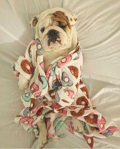 Bulldog bundle. AC