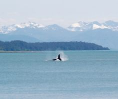 Whale watching in Bartlett Cove in Southeast Alaska is one of our favorite activities! Click here for more information on visiting Alaska.
