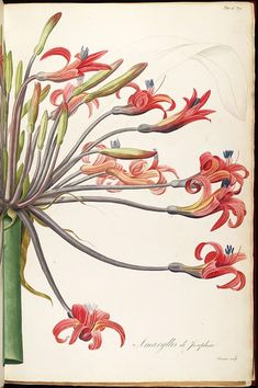 Amaryllis, by Pierre Joseph Redoute, from Les Liliacees, vol.7, 1813