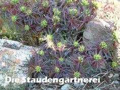 Euphorbia cyparissias \'Fens Ruby\'