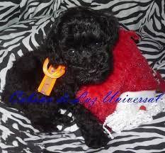 Resultado de imagen para caniches micro toy en capital federal #cachorros #canichestoy #puppy
