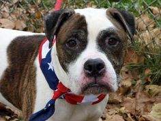 TO BE DESTROYED10/29/13 Manhattan Center-P~OREO! ID#A0982372 Neutered male wht & brwn am pit bull ter mix 7 YRS old OWNER SUR10/17/13 Oreo was surrendered by his owner of 5 yrs. Scared & shaking. Some dermatitis around his ears & eyes. Oreo walks like a dream & friendly to strangers. House trained. Sits upon request. DID GREAT ON HIS BEHAVIOR EXAM - only labeled Expo no child - BECAUSE OF OWNER INFO -WERE THEY THE CAUSE? Could OREO have chance at starting his life over W/ THE RIGHT FAMILY?