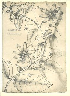 Passion Flower Vintage Botanical Sketch Drawing Passionfruit by Frei Cristovao Brazil