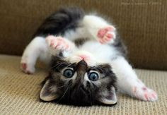 Why is it that upside down kittens are so adorable?!  I think it might be the pink pads on their feet that melt my heart. And how did they get into that position? Streeeetch!!