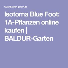 Isotoma Blue Foot: 1A-Pflanzen online kaufen | BALDUR-Garten