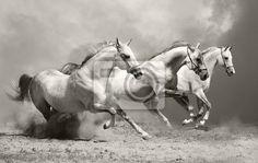 Fotobehang witte paarden in stof