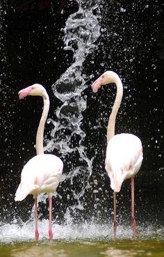 Flamingo by floridapfe, via Flickr