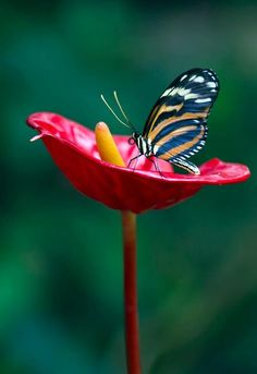 Butterfly on red cup flower