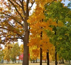 Tall trees changing colors for the fall at Erb Park in Appleton, WI. 10/3/12 #fallcolors #trees #autumn