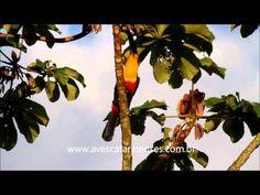 Tucano-bico-preto MVI_4529 - YouTube