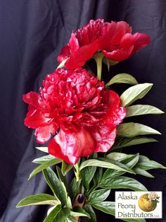 Here are two large Red Charm peonies.  With this color they are not to be ignored!