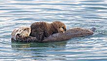 Sea otter - Wikipedia, the free encyclopedia