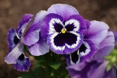 Violas: Perennials Annuals vs Perennials, what's your pick?  #Blog Annuals vs Perennials: https://wemakedirtlookgood.com/2015/11/annuals-vs-perennials-which-are-best-for-your-property/
