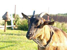goat Zuza by Katia79 on DeviantArt