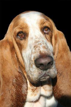 Dirty ears and sad eyes, yep that's a Bassett!