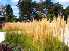 Пампасная  трава.